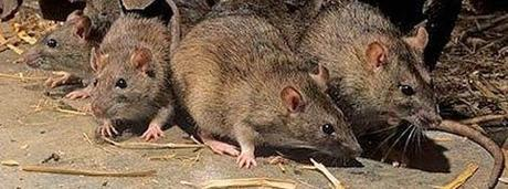 Rat Infestation Fact Sheet