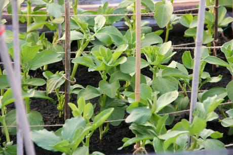 autumn sow broad beans