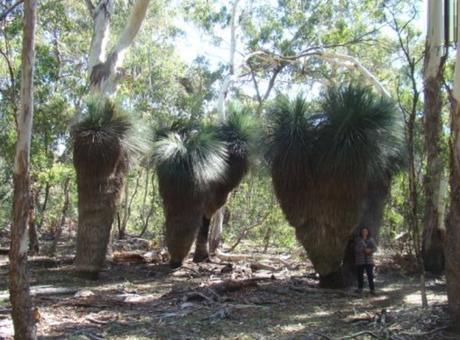 Xanthorrhoea Grass Trees, Australia