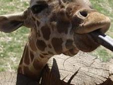 GIRAFFES, BABY LIONS More Wildlife World Aquarium Safari Park, Litchfield,