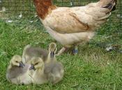 News Goodbye Mother Goose