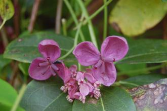 Akebia quinata Flower (23/04/2016, Kew Gardens, London)