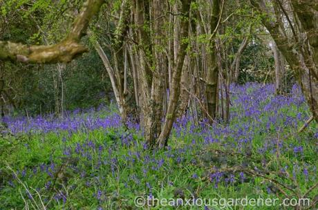 Bluebells, South Downs Way