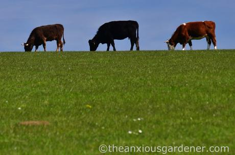 Cows, South Downs Way (1)