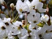 Wordless Wednesday Wild Cherry Blossom Female Wood Ants