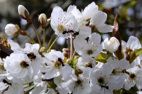 Wild Cherry blossom (Prunus avium) and Wood Ants (Formica rufa)