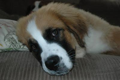 #Puppy pain management: 7 #tips to help a #dog in chronic #pain