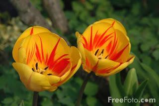Tulips (c) FreeFoto.com