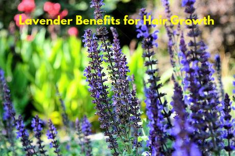 Lavender Benefits for Hair