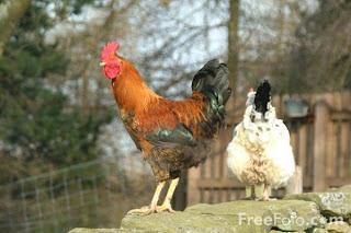 Chickens (c) FreeFoto.com