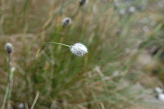 Eriophorum vaginatum Flower (23/04/2016, Kew Gardens, London)