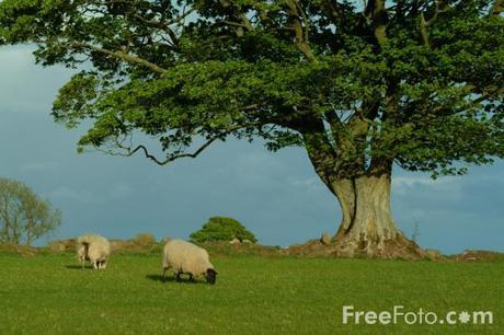 Sycamore Tree (c) FreeFoto.com