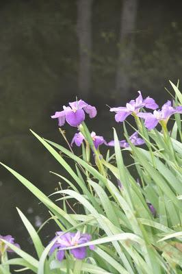 Early Morning and the Louisiana Irises Were Blooming Down at the Pond