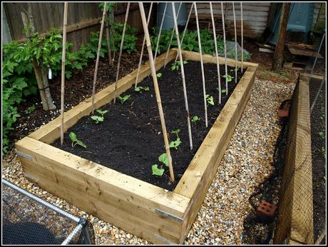 Planting Runner Beans and French Beans