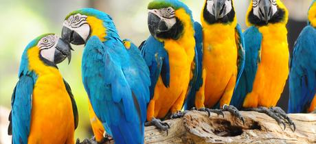 The macaw -a colorful tropical parrot