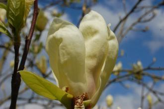 Magnolia 'Yellow Lantern' Flower (23/04/2016, Kew Gardens, London)
