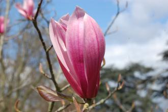Magnolia 'Spectrum' Flower (23/04/2016, Kew Gardens, London)