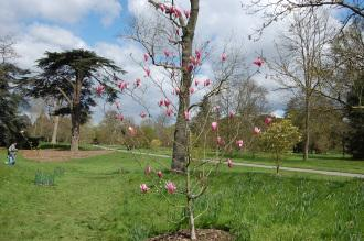 Magnolia 'Spectrum' (23/04/2016, Kew Gardens, London)