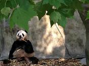 Pandas Chengdu? Don't Mind