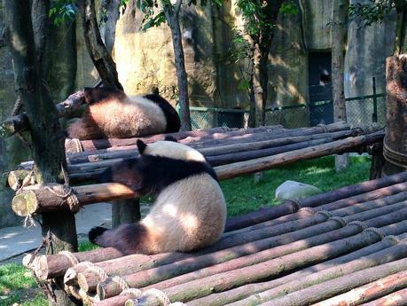 Two Giant Pandas in Chengdu