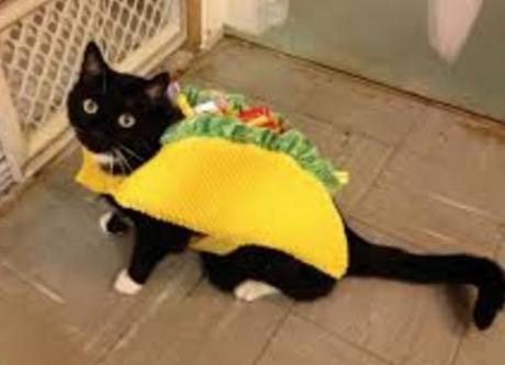 Cat Looks Like a Taco