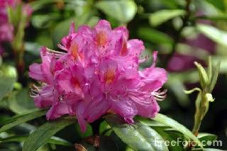 Image: Rhododendron, by Ian Britton | (c) FreeFoto.com, licensed under Creative Commons Attribution-Noncommercial-No Derivative Works 3.0 License