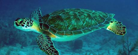 Lets Learn about Green sea turtles.