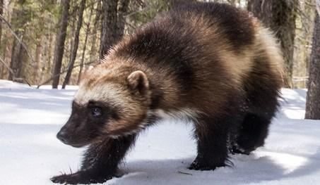The Other Wolverine Who Rivaled X-Men for Fame – Defenders of Wildlife Blog