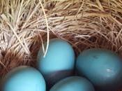 Lesson 1388 Blue Eggs Countdown They're Here