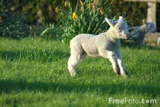 Image: Lamb (c) FreeFoto.com