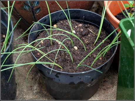 Re-potting Leeks