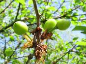Cherries Cherry Pie, Happening Right Now...in Backyard