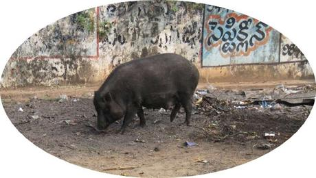 why culling wild boars is humane ??  - what is vermin