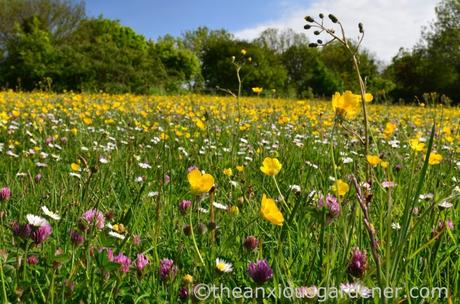 Flower Meadow South Downs (2)