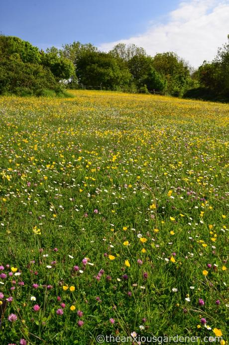 Flower Meadow South Downs (1)