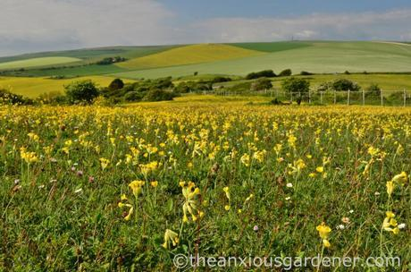 Cowslips South Downs