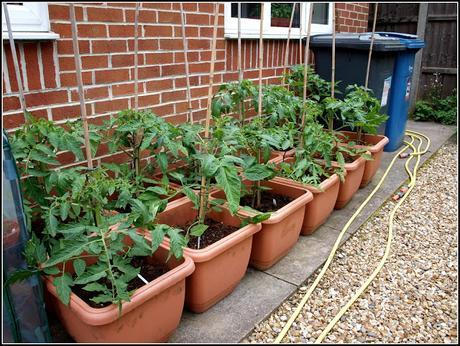 Care and maintenance of Tomatoes
