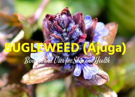 Bugleweed (Ajuga) Benefits Uses