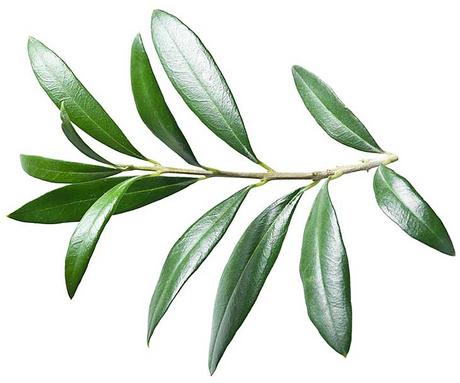 Olive Leaf - how to get rid of genital warts