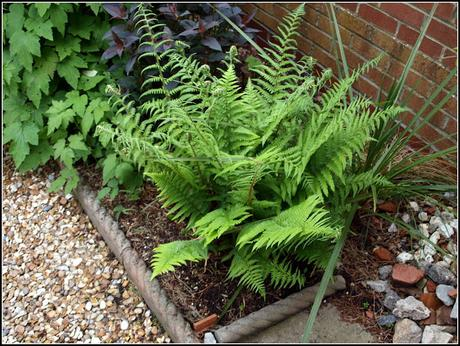 Ferns and Lysimachia