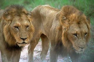 Image: Pictures of Lions (c) FreeFoto.com. Photographer: Kristin De More