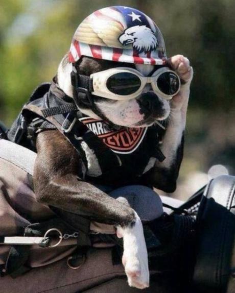 Dog Wearing Crash Helmet