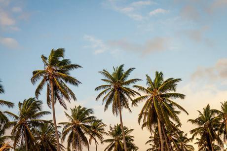 summer coconut trees