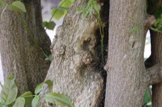 Wisteria floribunda 'Macrobotrys' Stem (22/05/2016, Kew Gardens, London)