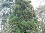 Plant Week: Cryptomeria Japonica