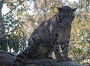 Featured Animal: Clouded Leopard