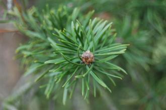Pinus banksiana detail (18,02,2012, Kew, London)