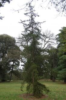 Pinus banksiana (18,02,2012, Kew, London)