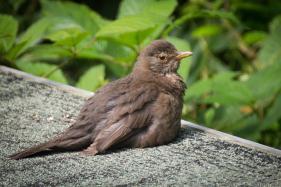 Blackbird fledgling_2.jpg