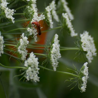 Red soldier beetle on Bishop's Flower